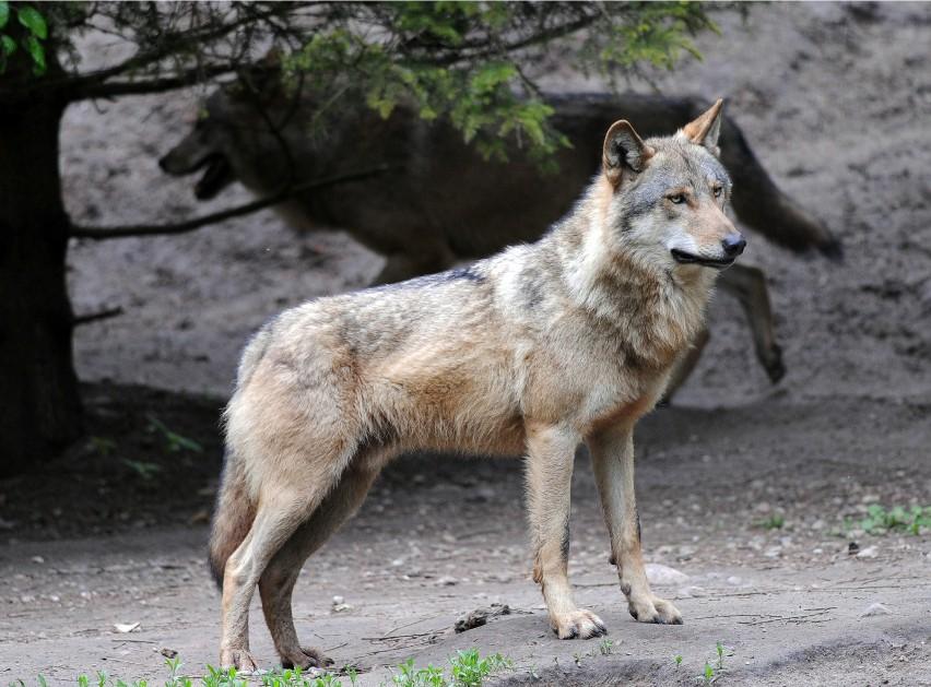 Wilk to zwierzę owiane złą sławą, głównie przez znaną...