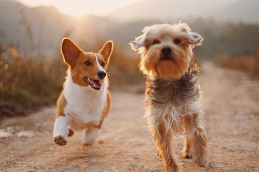 Najmądrzejsze rasy psów zostały wybrane przez grupę...