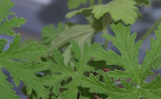 Geranium skutecznie odstrasza komary.