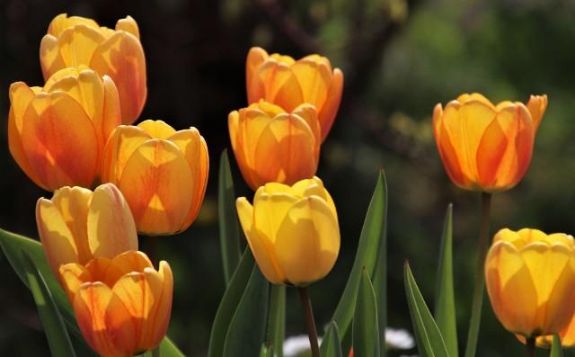 Tulipany kwitną wiosną, ale poszczególne gatunki i odmiany mają kwiaty nawet od marca aż do czerwca. Warto posadzić kilka odmian o różnym terminie kwitnienia.