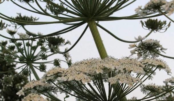 Barszcz Sosnowskiego podobny jest do kopru. Ale to bardzo niebezpieczna roślina.