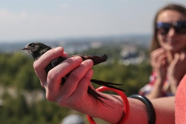Jeszcze kilkanaście lat temu jerzyki można było spotkać w okresie wakacyjnym na każdym większym osiedlu w Poznaniu. Dziś tych ptaków jest coraz mniej.