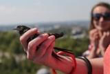 Poznań chce, by do miasta wróciły jerzyki i mniejsze gatunki ptaków. W tym celu opracowane zostały standardy w przypadku remontów budynków