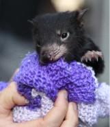 Malutki diabeł tasmański kochający pieszczoty