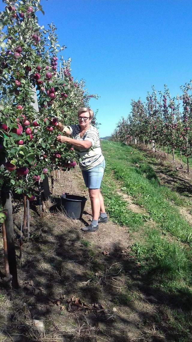 Pani Jolanta Majka, sadowniczka z gminy Raciechowice szacuje, że zbierze w tym roku tylko 30-40 proc. tego co w ubiegłym roku