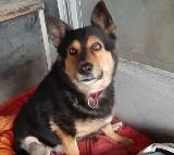 Psi staruszek z opolskiego schroniska jest skazany na wózek inwalidzki. Zwierzę potrzebuje domu
