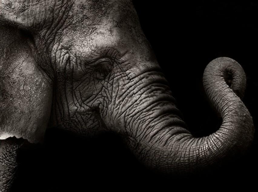 Wszystkie słonie świata zagrożone wyginięciem. Te gatunki umierają na naszych oczach. Niebawem znikną bezpowrotnie