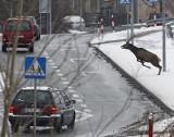 Stado jeleni niszczyło auta w centrum Opola