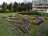 Tychy w bratkach. Zaczęło się wiosenne sadzenie. Do wysadzenia jest ponad 16 540 sztuk kwiatów