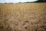 Ile ton z ha uzyskuje rolnik? Żniwa 2019 to spękana ziemia i tumany kurzu