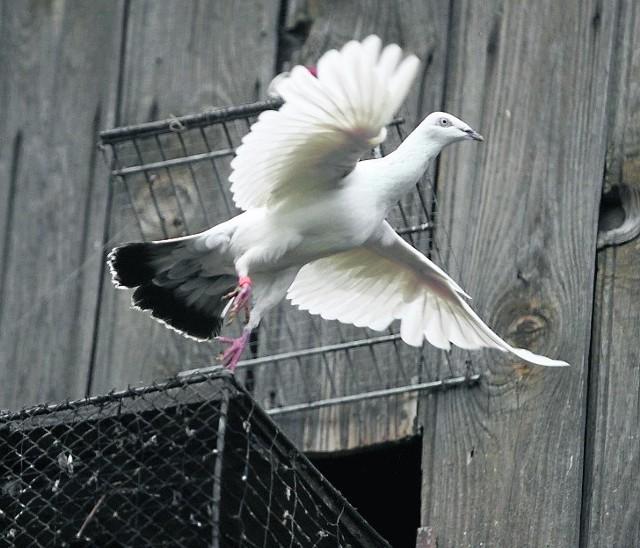 Dla hodowców gołębie to wielka pasja, sposób na życie