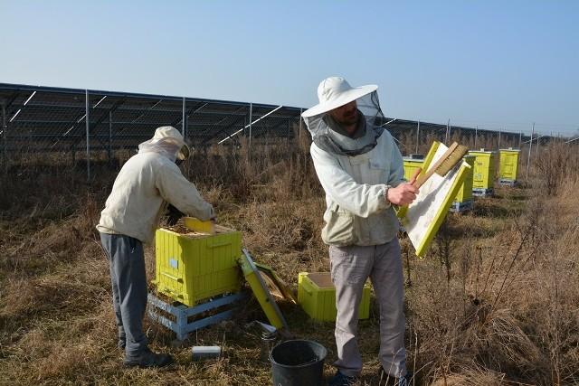 W okolicy miejscowości Kruszyna na terenie farm fotowoltaicznych w 10 ulach żyje ponad pół miliona pszczół.