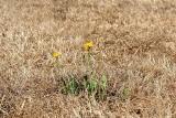 Pomoc po suszy i klęskach dla rolników - dla kogo 1000 złotych?