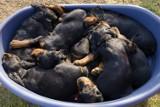 Sześć szczeniaczków wyrzucił do śmietnika