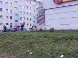 Gorzów. Dziki spacerowały wokół Biedronki. Nic sobie nie robiły z obecności ludzi