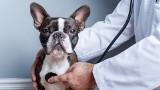 Najbardziej chorowite rasy psów. Są narażone na choroby genetyczne. Wybierając te rasy, przygotuj się na koszty leczenia (LISTA)