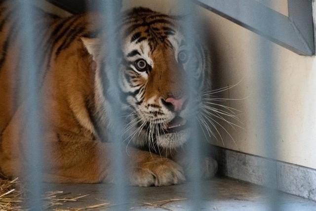 Zoo w Poznaniu przyjęło tygrysy, które przechwycono na granicy z Białorusią.