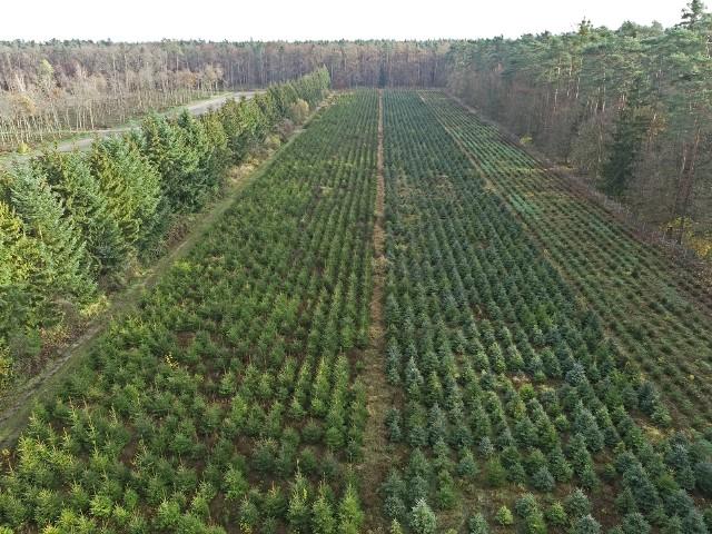 Honorata Galczewska podkreśla: - Zakup naturalnych choinek z legalnego źródła w żaden sposób nie zagraża trwałości polskich lasów – tych systematycznie, od ponad 70 lat, w Polsce przybywa. Na zdjęciu: choinki w Nadleśnictwie Miradz