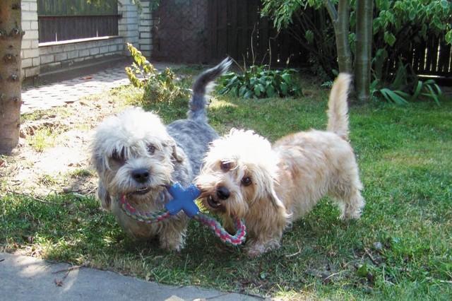 Psy tej rasy mogą mieć dwa kolory umaszczenia, nazwane przez hodowców pieprzem i musztardą. Nigdy nie spotkamy natomiast łaciatego dandusia.