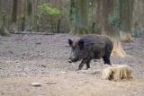 ASF jest potężnym zagrożeniem. Od naszego regionu dziki są odstraszane repelentami