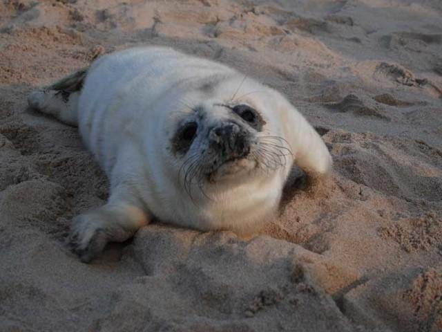 Foczka, która w niedzielę została znaleziona na plaży w Mielnie.