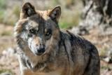 Jak zachować się podczas spotkania z wilkiem? Co zrobić, żeby te zwierzęta nie podchodziły do ludzi? Poznaj podstawowe zasady [19.03.2021]