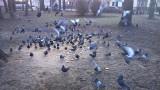 Plaga gołębi w Rzeszowie. Nie wolno ich dokarmiać!