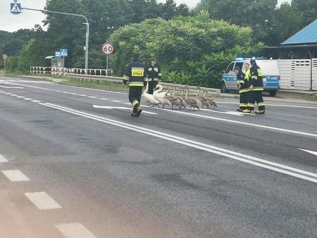 Strażacy z Trzęśniewa odprowadzali grupę łabędzi w ich naturalne środowisko