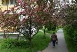 Nie tylko zielonogórskie Zacisze wiosną tonie w różowych kwiatach. Na osiedlu Łużyckim właśnie zaróżowiły się drzewa. Jest bajecznie!