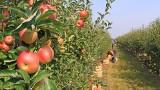 Co zagraża produkcji jabłek i gruszek? Rosnąca konkurencja ze strony owoców jagodowych, egzotycznych i nowych gatunków