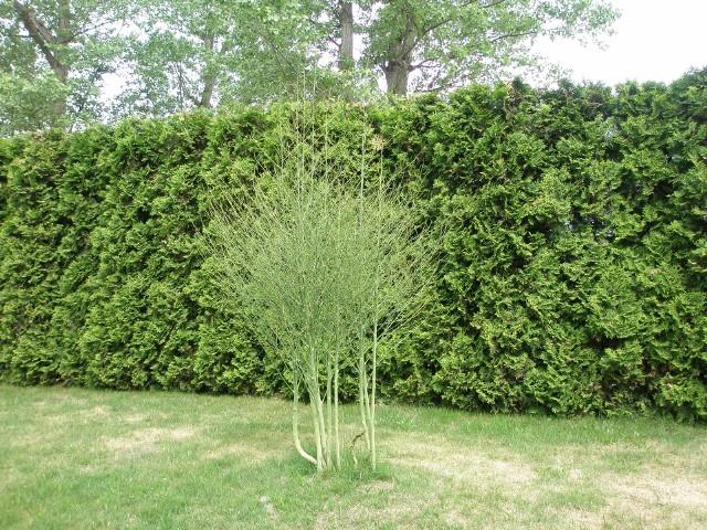 Posadzone jesienią szparagi wiosną tworzą krzew. Można je także posiać wiosną.