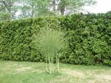Szparagi w ogrodzie. Uprawa szparagów dla dekoracji