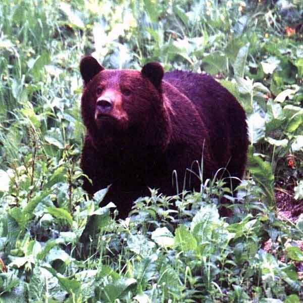 Decyzja o odstrzale niedźwiedzi na Słowacji może spowodować przetrzebienie ich polskiej populacji.
