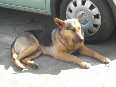 Pracownicy skwierzyńskiego magistratu szukają właściciela psa, znalezionego w środę w okolicach ratusza.