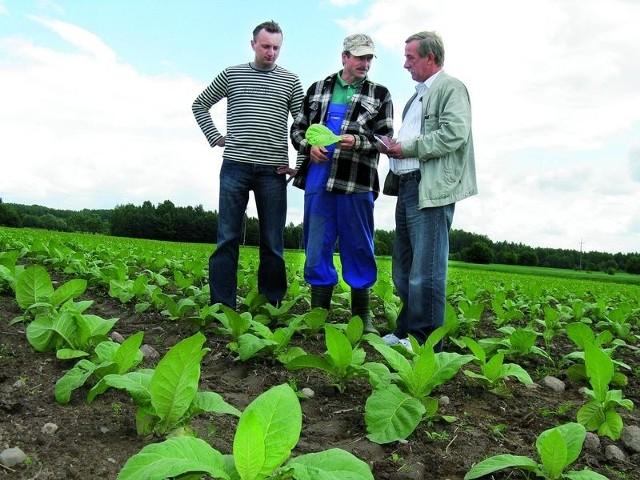 Bez dopłat uprawa tytoniu będzie nieopłacalna – mówią plantatorzy: Jan Milanowski (od prawej), Grzegorz Sieńko i Karol Borowski
