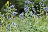 Przegorzan pospolity – okazała bylina ceniona za oryginalne kwiaty