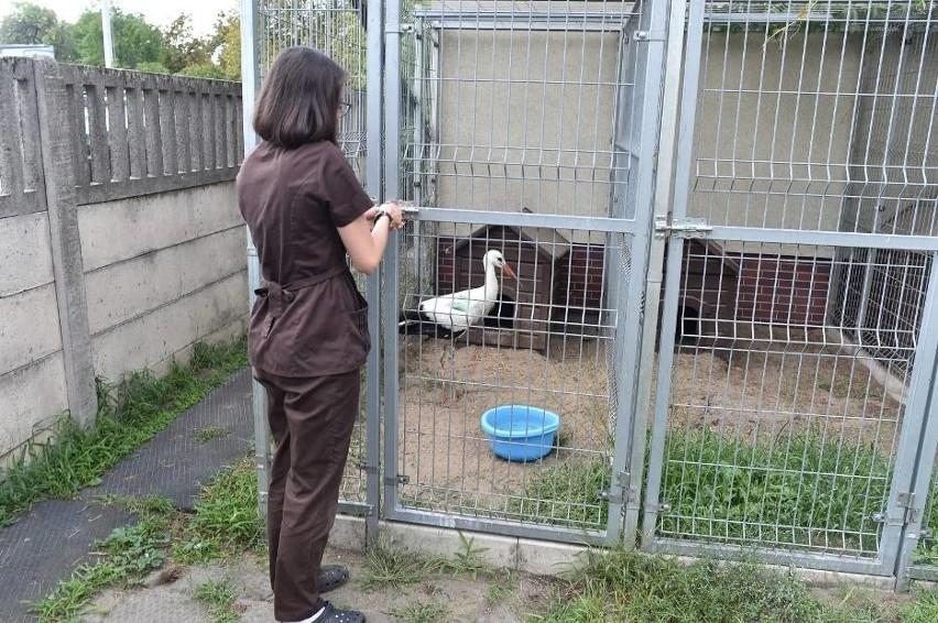 Bocian po leczeniu w Lesznie trafi do ośrodka rehabilitacji...
