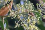 Setki owadów latających opanowały bluszcz, który oplótł orzecha w Hnatkowicach koło Przemyśla [WIDEO, ZDJĘCIA]