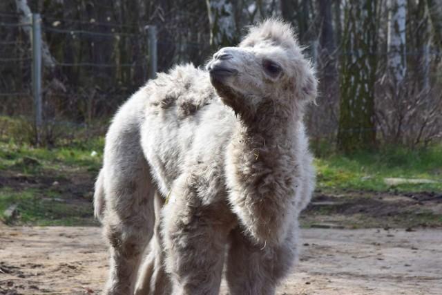 Kiedy świat toczy walkę z pandemią koronawirusa, w poznańskim zoo życie biegnie swoim własnym tempem. Niedawno na świat przyszły maluchy, a zwierzęta coraz częściej wychodzą na zewnętrzne wybiegi zaczerpnąć świeżego powietrza.