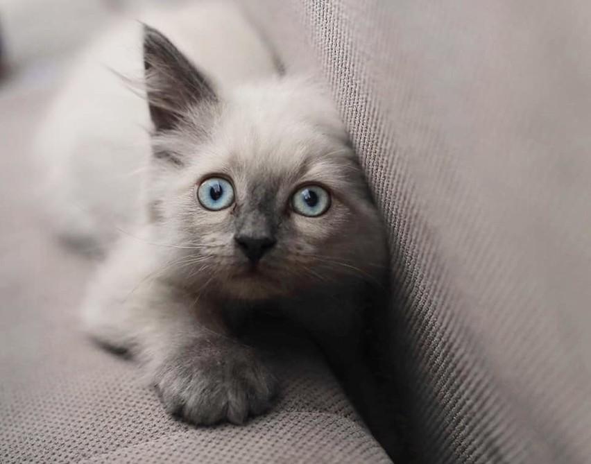 Jeśli ktoś z Was ma wątpliwości, które zwierzęta domowe są najukochańsze i najzabawniejsze, to po obejrzeniu tych zdjęć nie będzie miał już wątpliwości. To oczywiście koty. Są przeurocze i przezabawne. Każdy, kto ma kota w domu, doskonale o tym wie. Dziś prezentujemy drugą część tej wielkiej galerii, którą stworzyliśmy ze zdjęć, nadesłanych do naszej redakcji przez Was, kochani Czytelnicy. Zapraszamy do oglądania>>>Jaki jest Wasz kot? Jeśli chcecie pochwalić się swoimi futrzastymi pupilami, ślijcie zdjęcia mailem na adres: pwanczko@gazetalubuska.plZobacz też: Dlaczego kot drapie meble?