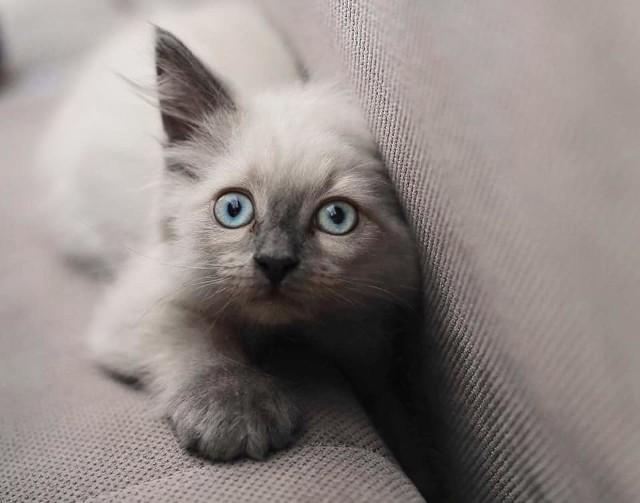 """Jeśli ktoś z Was ma wątpliwości, które zwierzęta domowe są najukochańsze i najzabawniejsze, to po obejrzeniu tych zdjęć nie będzie miał już wątpliwości. To oczywiście koty. Są przeurocze i przezabawne. Każdy, kto ma kota w domu, doskonale o tym wie. Dziś prezentujemy drugą część tej wielkiej galerii, którą stworzyliśmy ze zdjęć, nadesłanych do naszej redakcji przez Was, kochani Czytelnicy. Zapraszamy do oglądania>>>Jaki jest Wasz kot? Jeśli chcecie pochwalić się swoimi futrzastymi pupilami, ślijcie zdjęcia mailem na adres: pwanczko@gazetalubuska.plZobacz też: Dlaczego kot drapie meble? <script async defer class=""""XlinkEmbedScript""""  data-width=""""640"""" data-height=""""360"""" data-url=""""//get.x-link.pl/5525e9aa-dea5-61ad-f731-aeba742ef368,39bb876c-3ff7-4e99-062e-e042b9a8c56c,embed.html"""" type=""""application/javascript"""" src=""""//prodxnews1blob.blob.core.windows.net/cdn/js/xlink-i.js?v1"""" ></script>"""
