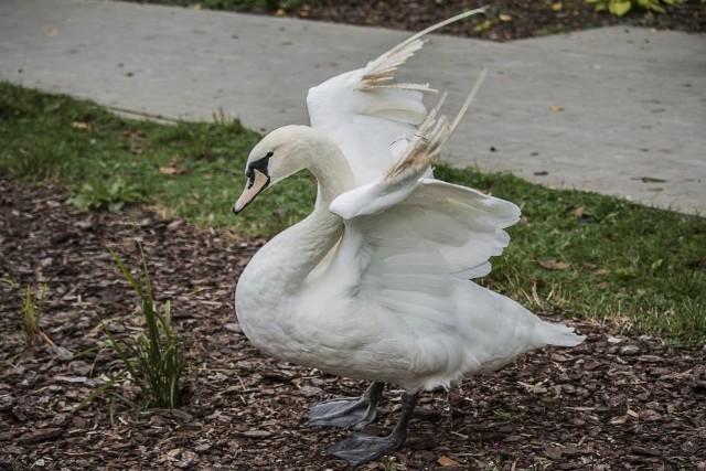 Miasteckie Stowarzyszenie Bezdomny Kundelek apeluje, aby nie dokarmiać ptaków chlebem. Apel jest po obserwacji tego, co się dzieje przy jeziorze Lednik w Miastku, na którym są łabędzie. Ludzie nie chcą źle, ale generalnie nie mają wiedzy na temat dokarmiania ptaków. Rodzinne spacery np. nad jezioro Lednik, a w torbie biały chleb, który daje się ptakom. Szczególnie dla dzieci to frajda, ale łabędzie mogą potem cierpieć. Jedną z chorób jest anielskie skrzydło.