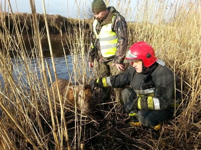 Strażacy ze Sławna wydobyli z rzeki jeleniaUratowany jeleń