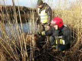 Strażacy ze Sławna wydobyli z rzeki jelenia