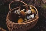 Pojawiły się grzyby w Wielkopolsce. Grzybiarze donoszą gdzie. Sprawdź, gdzie rozpoczął się sezon grzybowy w województwie wielkopolskim