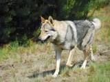 Wilczak: Wilk i owczarek w jednym