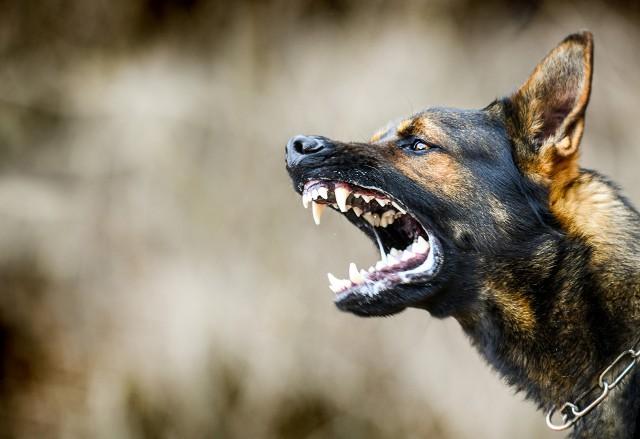 Te rasy psów są uznawane za agresywne. By je mieć, musisz posiadać zezwolenie. Zobacz, o które psy chodzi.