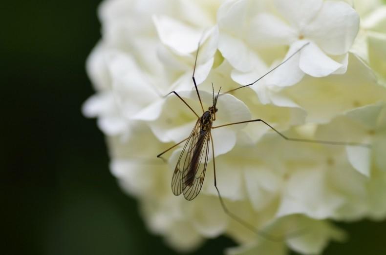 Komary występują na całym świecie. Znanych jest ponad 3...