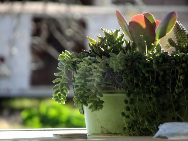Niektóre sukulenty (w tym kaktusy) tworzą długie, wiszące pędy. W doniczkach wyglądają bardzo ciekawie. Zobacz, jakie warto mieć.