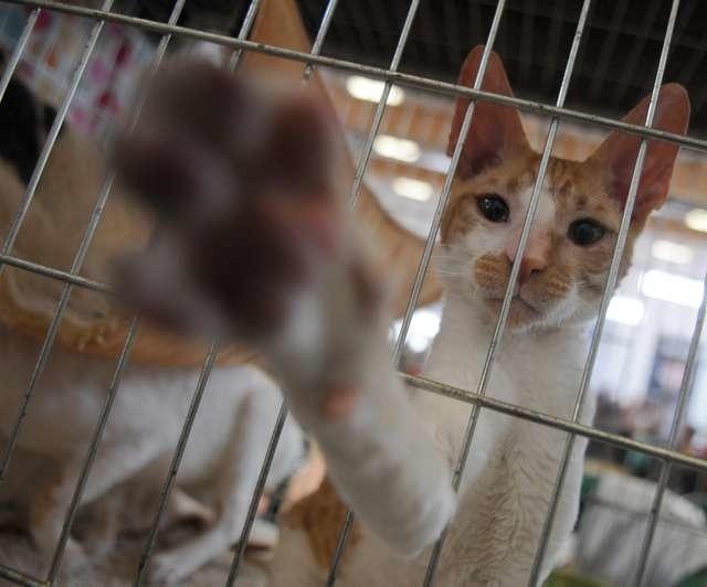 Międzynarodowa wystawa kotów rasowychMiędzynarodowa wystawa kotów rasowych